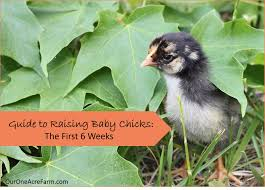 raising baby without a hen the first 6 weeks