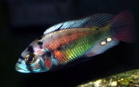 african cichlid articles