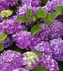 purple hydrangea top 15 most beautiful hydrangea flowers