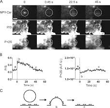 localized topological changes of the plasma membrane upon