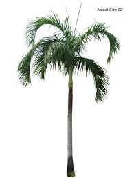 carpentaria palm tree welcome to your local nursery