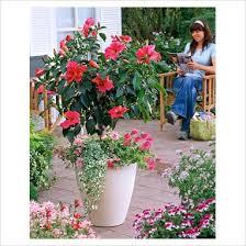 hibiscus container gardening hibiscus standard in container