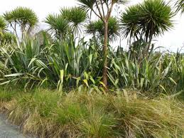 plants native to new zealand nz native plants lar pinterest plants gardens and garden ideas