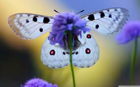 blue butterfly on flower uhd desktop wallpaper for ultra hd 4k