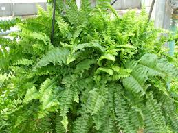 native plants for sale online boston fern for sale online wholesale u2013 lowest prices guaranteed