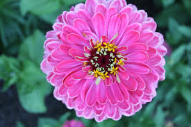 zinnia flower keep cut zinnias beautiful for longer flower pressflower press