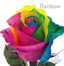 multicolor roses rainbow multicolor tinted ecuador direct roses