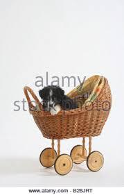 australian shepherd 7 weeks australian shepherd puppy 7 weeks in cage kennel stock photo