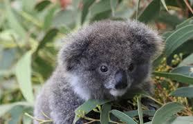 imgur meet archer the baby koala album on imgur