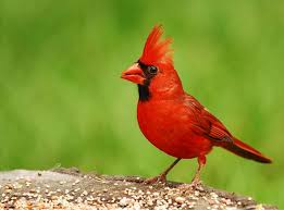 Indiana birds images Birds of indiana jpg