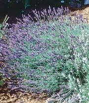 lavender and roses from seed renee s garden seeds