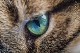 Blind Dog Eye Discharge Eye Inflammation Conjunctivitis In Cats Petmd