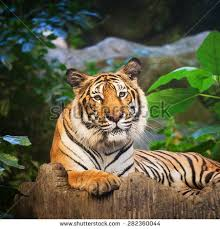 bengal tiger forest leg stock photo 282360044