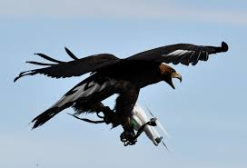 french army trains eagles to fight drone terrorism