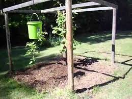 growing tomatoes upside down youtube