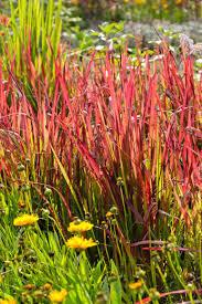 imperata cylindrica baron japanese blood grass
