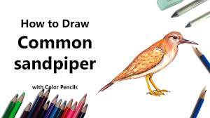 how to draw a common sandpiper with color pencils time lapse