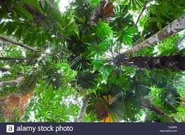 tropical rainforest native plants green foliage daintree rainforest tropical palm leaves in rain