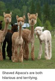 Alpaca Memes - shaved alpaca s are both hilarious and terrifying meme on me me