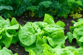 Hydroponics Vegetable Gardening by Leafy Greens As Easy To Grow Vegetables Via Hydroponic System
