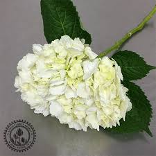 white hydrangea hydrangea white and colors flower market