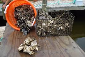 Delaware how long does it take to travel to mars images Commercial oyster farming could help increase biodiversity in jpg