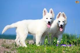 belgian shepherd skin problems white swiss shepherd dog breed information buying advice photos