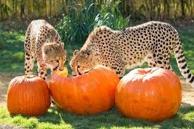 pumpkins at cheetah run busch gardens 4 animal fact guide