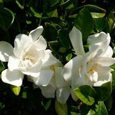 Shrub With Fragrant Purple Flowers - shrubs trees u0026 bushes the home depot