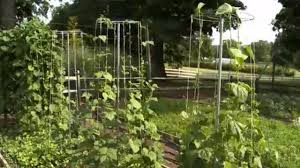how to use pole bean u0026 pea towers in your garden youtube