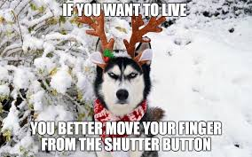 Husky Meme - festive angry husky memes imgflip