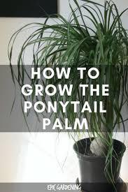 ponytail palm care u2013 how to grow beaucarnea recurvata ponytail