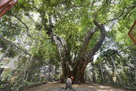 need to bring peepal trees back to the cities the hindu
