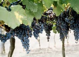 Grape Trellis For Sale How To Plant Concord Grapes New England Today