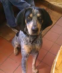bluetick coonhound puppies joplin mo red tick coonhound penny u0027s english coonhounds ukc registered