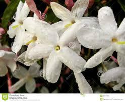 Jasmine Flowers Water Droplets On Jasmine Flowers Stock Photo Image 58377350
