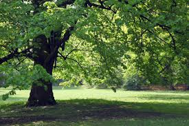 shade trees for zone 7 learn about growing shade trees in zone 7