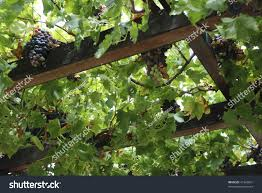 close grapes on vine covering trellis stock photo 41342851