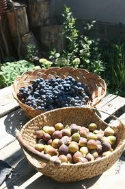 all you need to know about figs ficus carica permaculture magazine