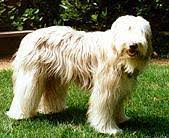 bearded collie brown brown and fawn bearded collie club of america