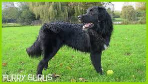 belgian sheepdog breeds the dog park border collie golden retriever mix and husky