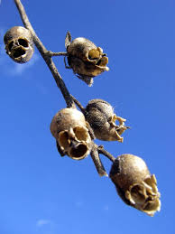 the dragon u0027s skull the macabre appearance of snapdragon seed pods