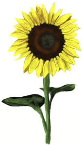 how to draw a sunflower draw step by step