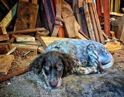 bluetick vs english coonhound overview for jaytongue