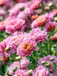 mums flower september plant pick mums sloat garden center