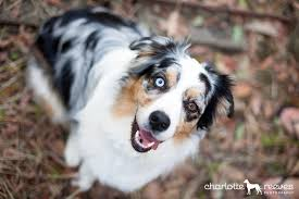 australian shepherd eyes charlotte reeves photography model session autumn the
