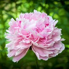 peonies for sale peony bulbs for sale online easy to grow bulbs
