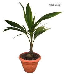 malayan coconut palm tree cocos nucifera at the palm store call 1