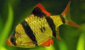 Buy Ornamental Fish Feeding Tiger Barb Fish Tropical Ornamental Fish Photos