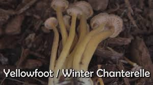 edible native plants pacific northwest mushrooms of the pacific northwest youtube